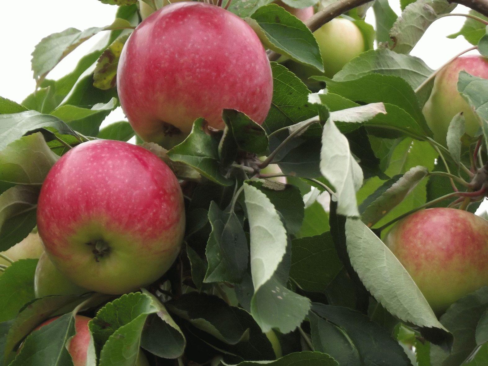 Скороплодная яблоня мельба