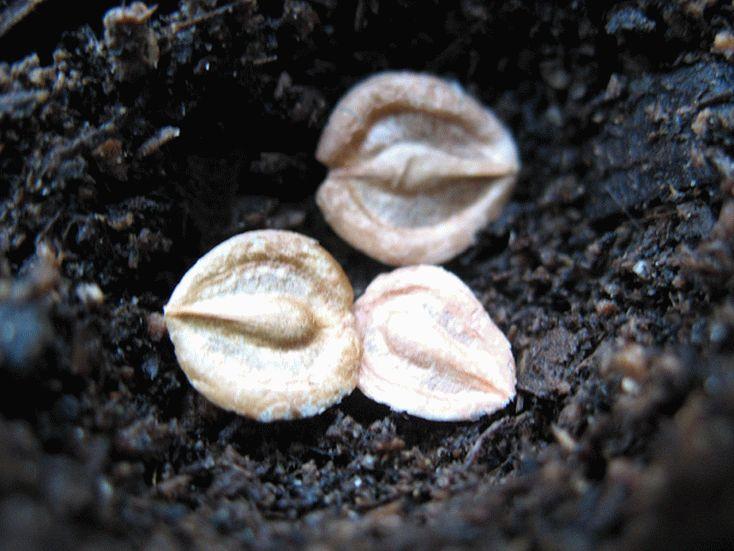 Семена маргариток
