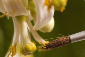 hand-pollinate-citrus-e1457974285144