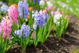 hyacinths-e1458323275430