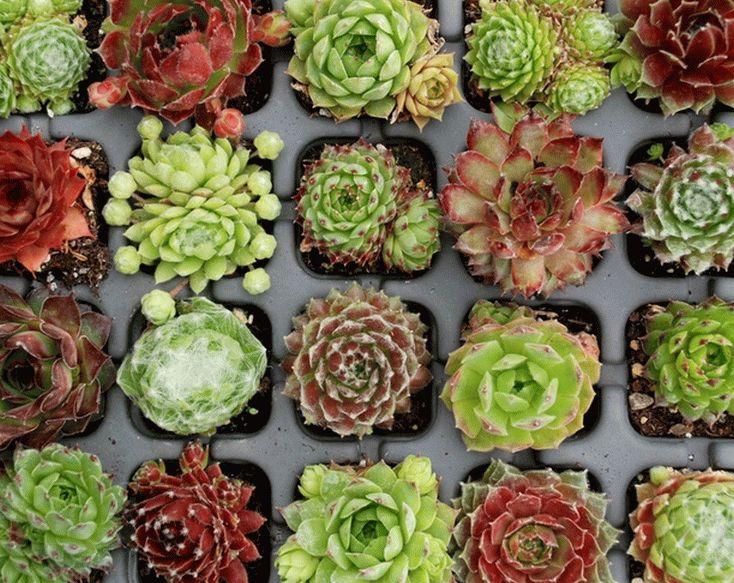 Виды растения молодила