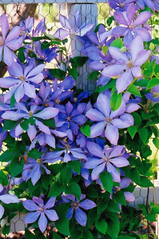 Цветки клематиса