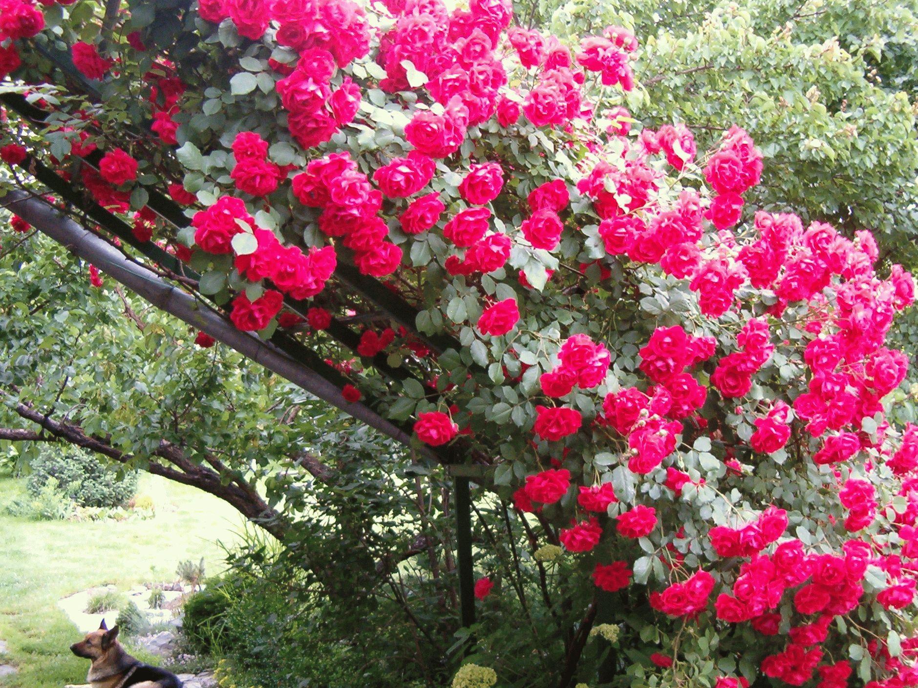 Плетистая роза красивая на фото