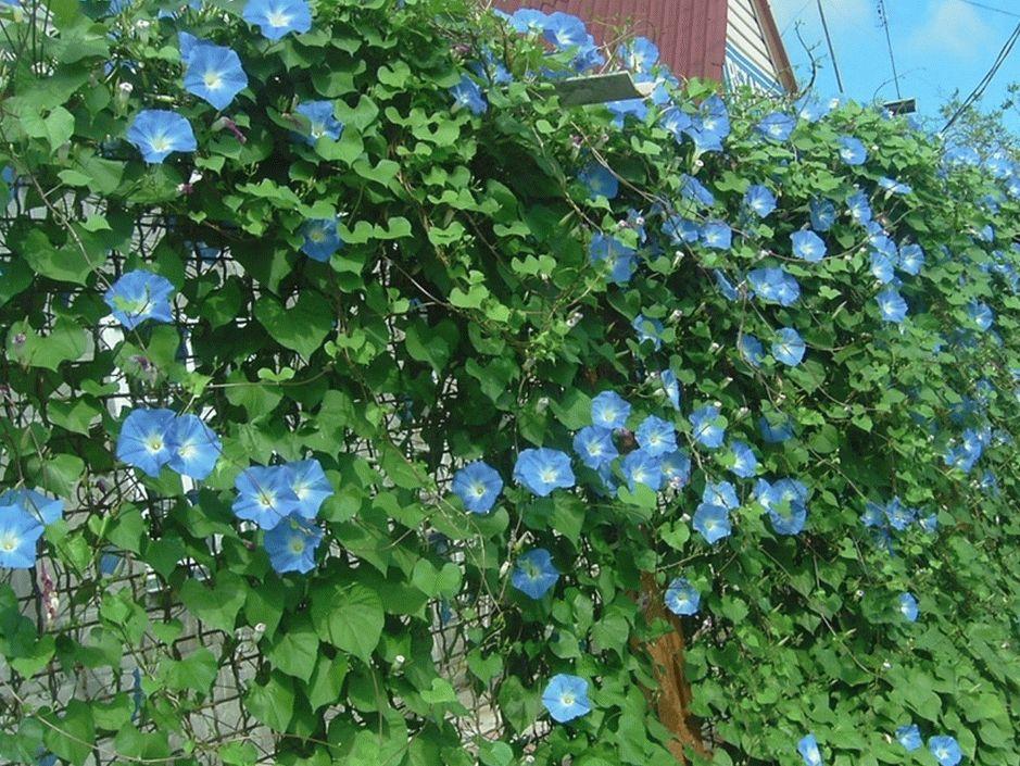Лиана - популярный цветок среди плетистых растений