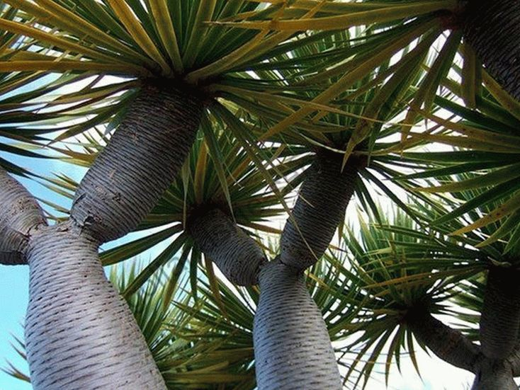 Драцена Драконово дерево
