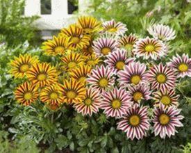 katalog-mnogoletnih-cvetov-dlya-dachi-foto-s-nazvaniyami-12