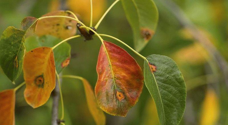 Советы и рекомендации по лечению листьев груши от ржавчины