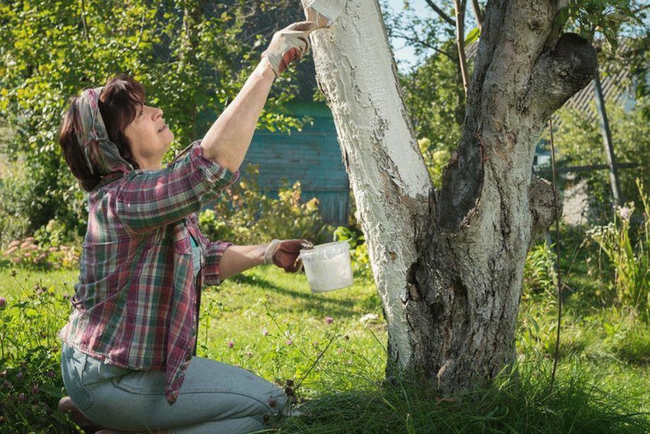 Профилактика в саду - покраска деревьев